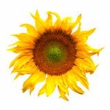 Sonnenblumenblumen-Betriebsblüte lokalisiert auf Weiß Lizenzfreie Stockfotos