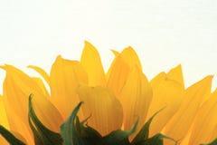 Sonnenblumenblumenblätter Stockfotos