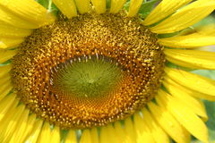 Sonnenblumenblumenblätter mit Wassertropfen lizenzfreies stockbild