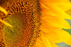 Sonnenblumenblumennahaufnahme Stockfotos