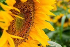 Sonnenblumenblumennahaufnahme Lizenzfreies Stockbild