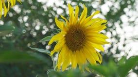 Sonnenblumenblumennahaufnahme auf einem natürlichen Hintergrund Auf Sonnenblume kriecht eine Hummel stock footage