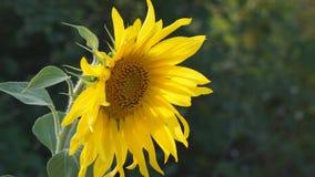 Sonnenblumenblumennahaufnahme auf natürlichem Hintergrund stock video footage