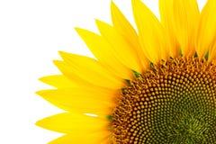 Sonnenblumendetail, lokalisiert auf Weiß stockfoto