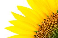 Sonnenblumendetail, lokalisiert auf Weiß stockbilder