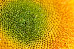 Sonnenblumendetails Lizenzfreie Stockfotografie