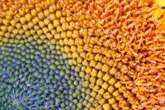 Sonnenblumendetails Lizenzfreie Stockfotos