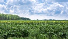 Sonnenblumenernte nahe auf dem Feld angebautem mit Mais Lizenzfreies Stockfoto