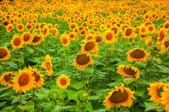 Sonnenblumenfeld Lizenzfreie Stockbilder