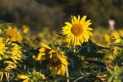 Sonnenblumenfeld Stockfoto