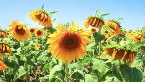 Sonnenblumenfeld stock footage