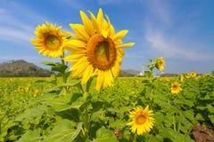 Sonnenblumenfeld Lizenzfreie Stockfotografie