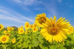Sonnenblumenfeld Stockfotos