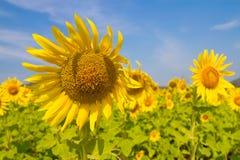 Sonnenblumenfeld Lizenzfreies Stockfoto