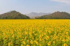 Sonnenblumenfeld Stockbilder