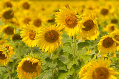 Sonnenblumenfeld Stockfotografie