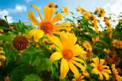 Sonnenblumenfeld. lizenzfreie abbildung