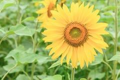 Sonnenblumenfeld in Altai Stockfotografie