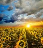 Sonnenblumenfeld bei Sonnenuntergang Stockfotografie