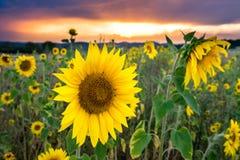 Sonnenblumenfeld bei Sonnenuntergang stockbild