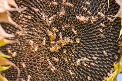 Sonnenblumenfeld bereit zur Ernte Stockfoto