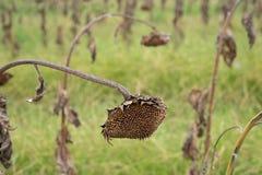 Sonnenblumenfeld bereit zur Ernte Stockbild