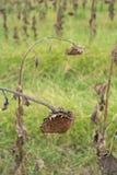 Sonnenblumenfeld bereit zur Ernte Lizenzfreie Stockfotografie