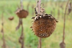 Sonnenblumenfeld bereit zur Ernte Stockbilder