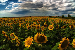 Sonnenblumenfeld, Burgas, Bulgarien stockbild