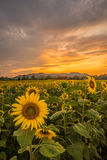 Sonnenblumenfeld an der Dämmerung Stockfoto