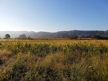 Sonnenblumenfeld in der Landschaft stockfotos