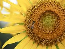 Sonnenblumenfeld in der Präfektur Saitama, Japan lizenzfreies stockfoto