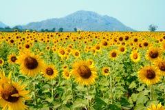 Sonnenblumenfeld des Blühens Stockfotografie
