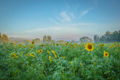 Sonnenblumenfeld am frühen Morgen Stockfotografie