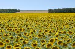 Sonnenblumenfeld in Frankreich stockfotos
