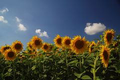 Sonnenblumenfeld gegen bewölkten blauen Himmel Lizenzfreies Stockfoto