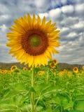 Sonnenblumenfeld im künstlichen Licht Stockbilder