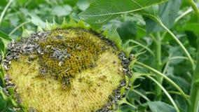 Sonnenblumenfeld im Sommer, voll aufgewachsen, Forschung, organische Landwirtschaft, Abschluss Lizenzfreies Stockbild