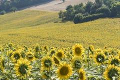 Sonnenblumenfeld Italien lizenzfreie stockfotos