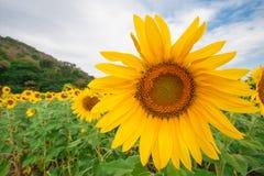 Sonnenblumenfeld mit bewölktem blauem Himmel stockfoto
