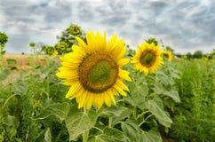 Sonnenblumenfeld mit schweren Wolken Stockbild