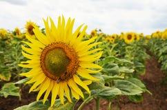 Sonnenblumenfeld mit zwei Bienen Stockfotos