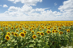 Sonnenblumenfeld mitten in dem Tag stockfoto