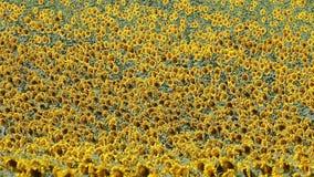 Sonnenblumenfeld-Naturhintergrund stock video footage