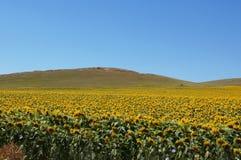 Sonnenblumenfeld in Südeuropa stockfotos