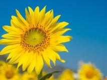 Sonnenblumenfeld an am sonnigen Tag und blauen dem Himmel des freien Raumes Lizenzfreie Stockfotografie