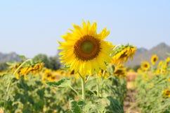 Sonnenblumenfeld und Gebirgshintergrund Stockfoto