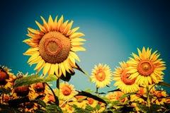 Sonnenblumenfeld unter blauem Himmel Lizenzfreie Stockfotografie