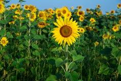 Sonnenblumenfeld unter blauem Himmel Lizenzfreies Stockfoto