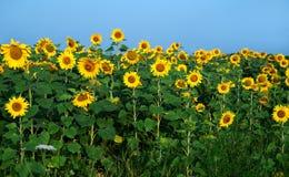 Sonnenblumenfeld unter blauem Himmel Stockfotografie